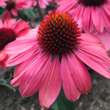 Eye-Catcher™ Coral Craze Coneflower Flowers Close Up