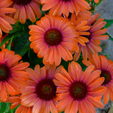 Color Coded™ Orange You Awesome Coneflower Flowers Close Up
