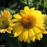 Sombrero® Lemon Yellow Coneflower Close  Up