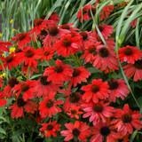Sombrero® Salsa Red Coneflower Plants Blooming