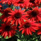 Sombrero® Sangrita Coneflower Plants Flowering in the Sunlight