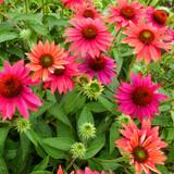 Sombrero® Tres Amigos Coneflower plant blomming
