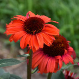 Eye-Catcher™ Tanager Coneflower Plants Blooming