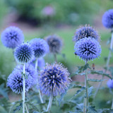 Blue Glow Globe Thistle Flowers