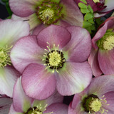 Honeymoon® Paris in Pink Lenten Rose Flowers