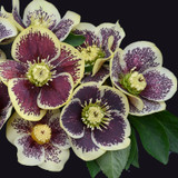 Honeymoon® Rio Carnival Lenten Rose Flower Blooms
