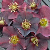 Honeymoon® Rome in Red Lenten Rose Flowers
