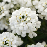 Snowsation™ Evergreen Candytuft Flowers Close Up