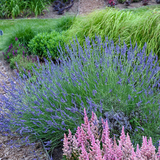 Phenomenal Lavender Plant Blooming