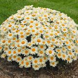 Whoops-a-Daisy Shasta Daisy Plant Flowering