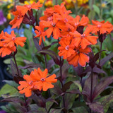 Orange Gnome Catchfly Flowers Close Up
