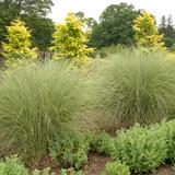 Morning Light Ornamental Grass in the Garden