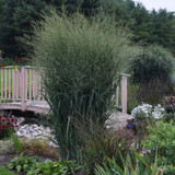 Prairie Winds® Totem Pole Switch Grass in the Garden Landscaping