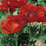 Beauty of Livermere Oriental Poppy Flowers