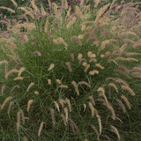 Large Karley Rose Oriental Fountain Grass Plant