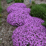 Bedazzled Pink Phlox Plants Garden Border