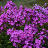 Garden Girls Cover Girl Phlox Plants Blooming
