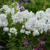 David Phlox Plants Flowering in the Sunlight