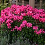Garden Girls Glamour Girl Phlox Plants Flowering in the Garden
