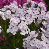 Garden Girls Party Girl Phlox Plants Flowering
