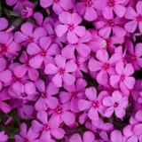 Spring Bling Ruby Riot Phlox Flower Petals