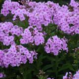 Garden Girls Uptown Girl Phlox Plants Flowering
