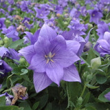 Astra Double Blue Balloon Flowers Mass Planted Flower Petals