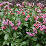 Pretty in Pink Lungwort Plant Flowering