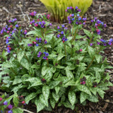 Spot On Lungwort Plant Blooming