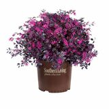 Purple Diamond Loropetalum Cropped