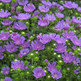 Peachie's Pick Stokes' Aster Plant Blooming