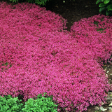 Coccineus Red Creeping Thyme Plants in the Shade Garden