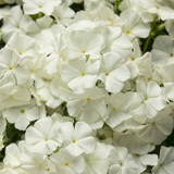 Intensia® White Annual Phlox Flowers Close Up