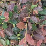 Ruby Loropetalum Red Leaves Cropped