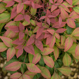Blush Pink Nandina Cropped