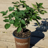 Osage Blackberry in Container Cropped