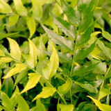 Japanese Fern Holly Leaves Up Close Cropped