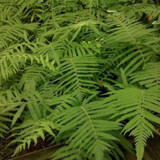 Southern Wood Fern Cropped