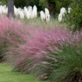 Pink Muhly Grasses As A Border