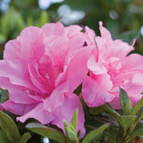Autumn Carnation Encore Azalea Flower Cropped