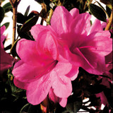 Autumn Empress Encore Azalea Cropped