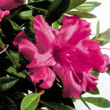 Autumn Sundance Encore Azalea Cropped