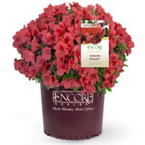 Autumn Sunset Encore Azalea in Branded Pot