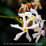 Asiatic Jasmine Cropped