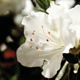 Autumn Angel Encore Azalea Cropped