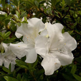 Autumn Ivory Encore Azalea Cropped