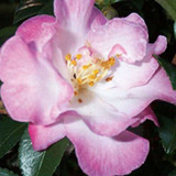 October Magic Orchid Camellia
