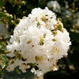 Early Bird White Crape Myrtle Cropped