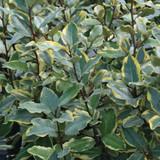 Eleagnus Olive Martini Foliage