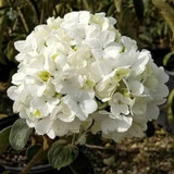 Chinese Snowball Viburnum Flower
